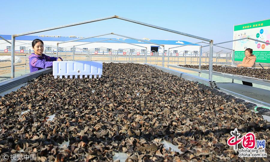 Стало известно, что благодаря помощи при строительстве провинции Хэйлунцзян выращивание черного древесного гриба в теплицах здесь уже стало новым способом разбогатеть для местных жителей.