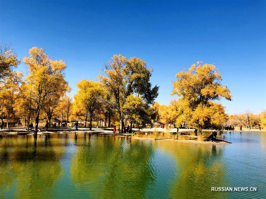 Осенний лес евфратских тополей на северо-западе Китая