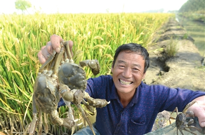 Богатый урожай на рисовых полях. За 40 лет реформ сельское хозяйство в Тяньцзине очень изменилось