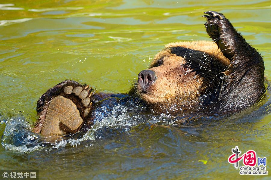 9 октября по местному времени, в Лондоне Великобритании европейский бурый медведь наслаждался прохладным купанием.