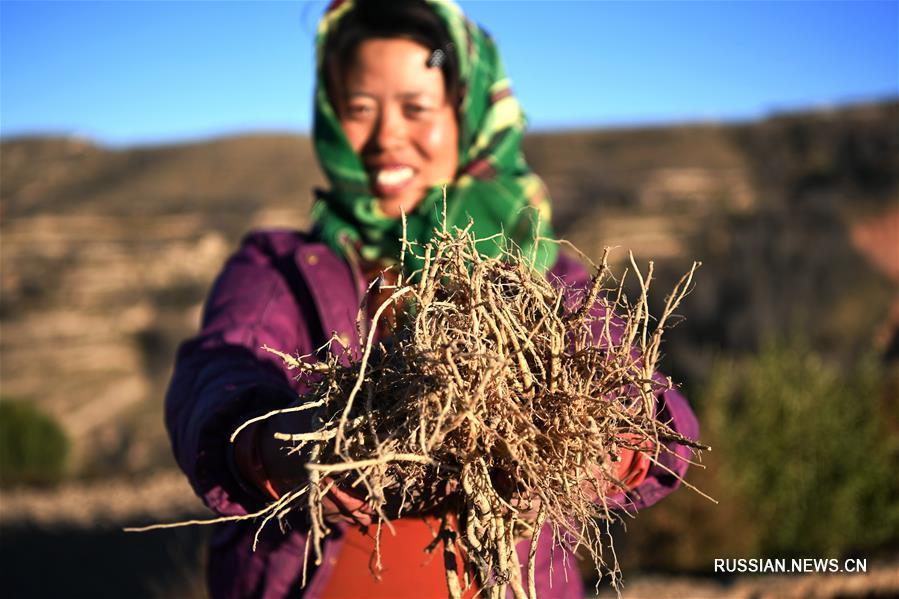В пров. Ганьсу крестьяне избавляются от бедности путем выращивания лекарственных растений