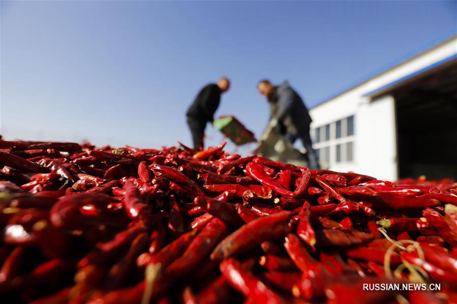 Сбор и сушка красного перца в уезде Юйтянь