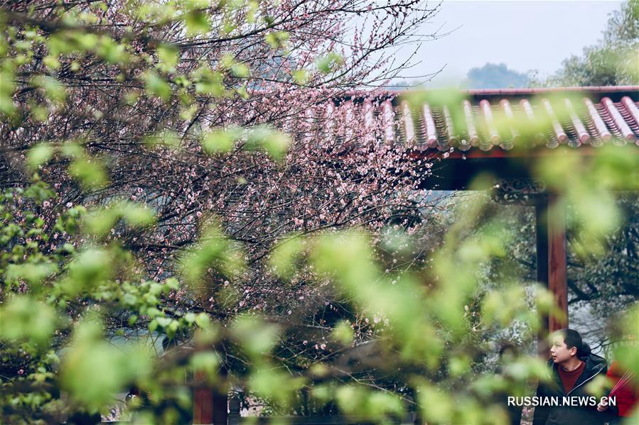 Аромат цветущих слив в древнем монастыре