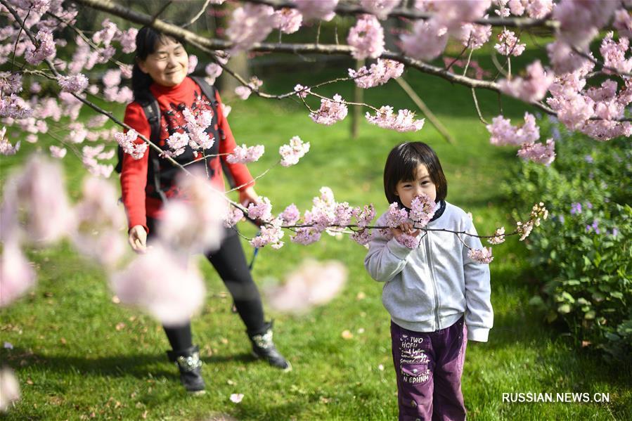 У озера Дунху в Ухане, административном центре провинции Хубэй /Центральный Китай/, пышно цветут вишневые деревья.
