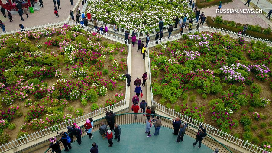 Пора цветения пионов в парках Хэцзэ