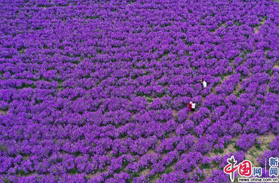 Аньхой: Привлекательное море цветов в Бочжоу