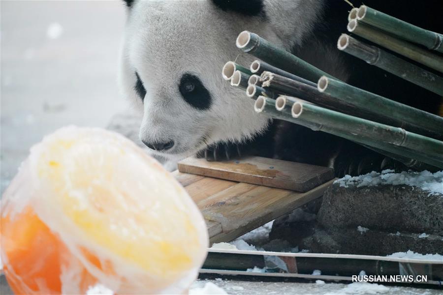 """День рождения панды """"Сыцзя"""" отметили в провинции Хэйлунцзян"""