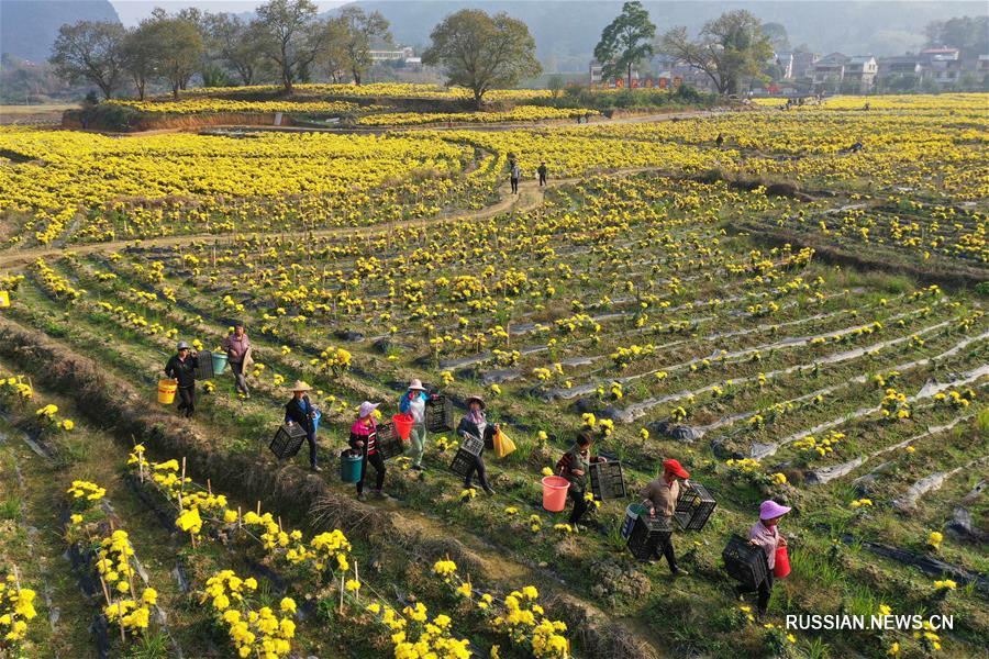 Выращивание золотых хризантем помогает фермерам из уезда Жунъань победить бедность