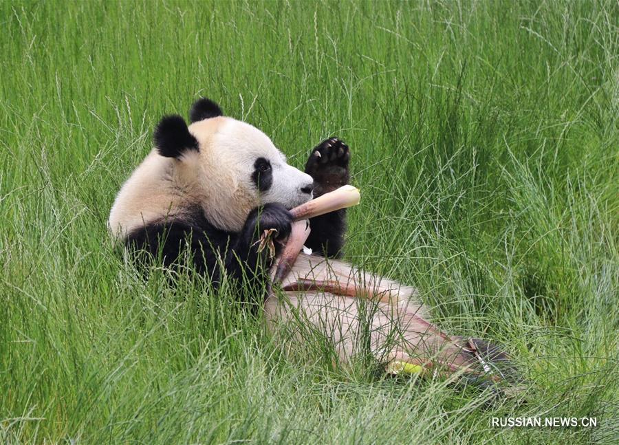 В провинции Сычуань открылся парк больших панд Цзючжайгоу