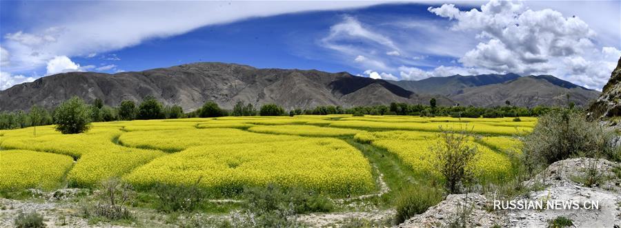 Летнее цветение рапса в уезде Джананг