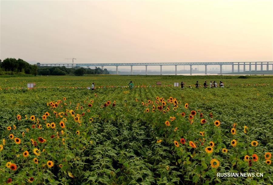 Цветущие подсолнухи на берегах Хуанхэ в Саньмэнься