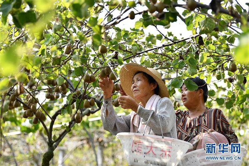 Выращивание киви увеличило доходы жителей китайского уезда Фэйси