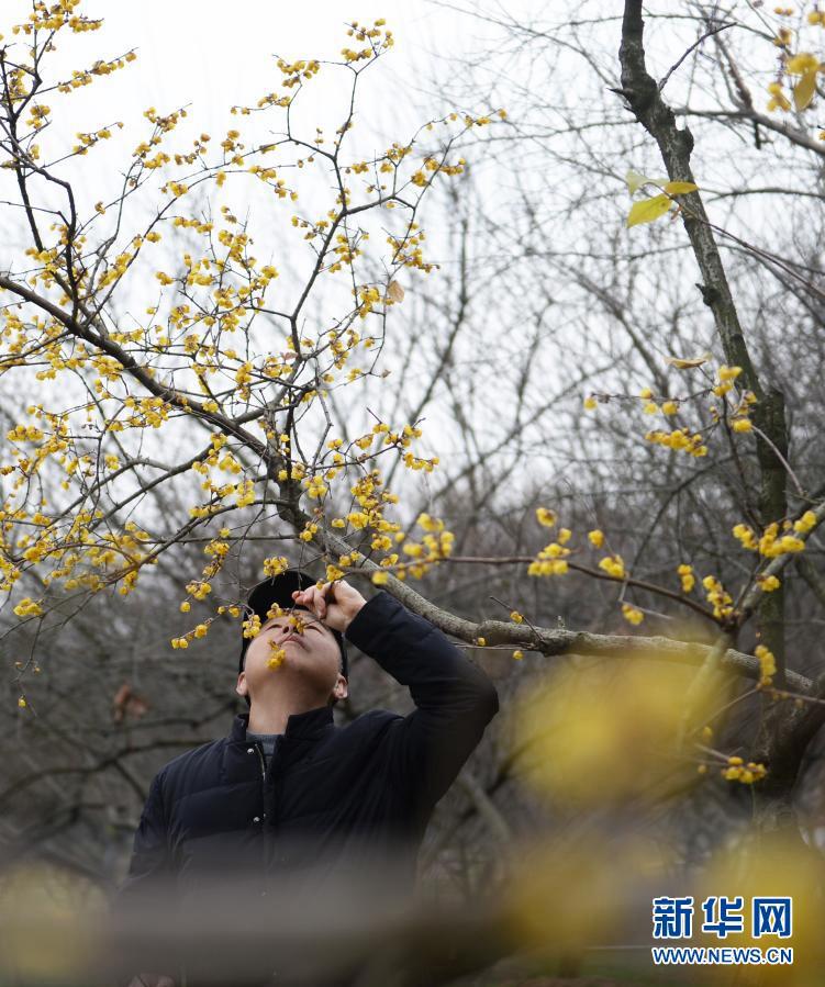 Цветущий химонант скороспелый привлекает туристов