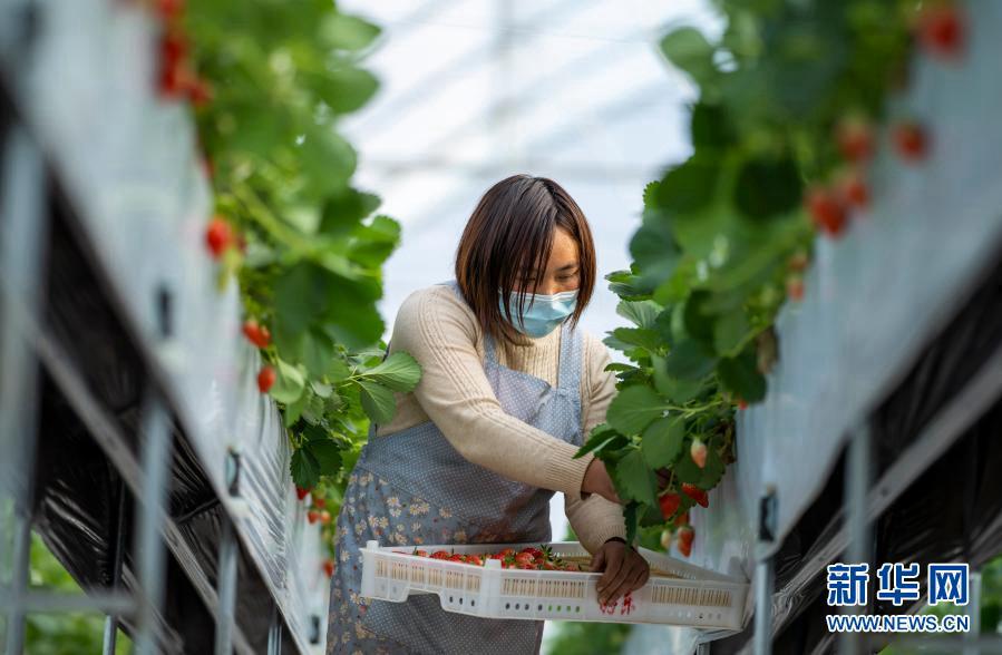Провинция Юньнань: индустрия клубники стимулирует сельское развитие