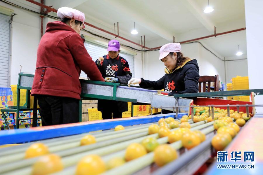 Упаковка и поставка кумкватов на новогодние рынки из уезда Жунъань Гуанси-Чжуанского автономного района