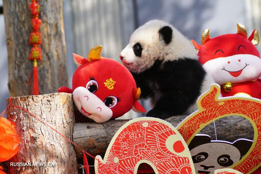 Десять детенышей панды поздравляют с китайским Новым годом в Юго-Западном Китае