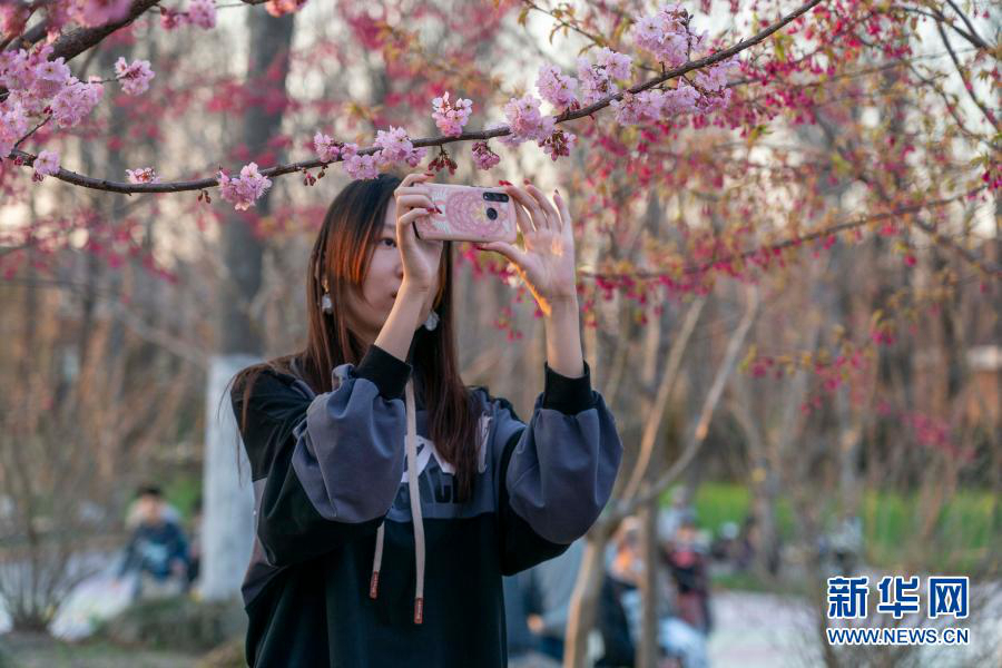 Шанхай: цветущая сакура привлекает туристов