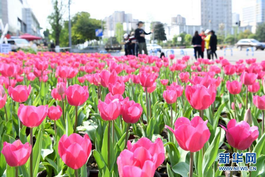 Цветение тюльпанов на улицах Чунцина