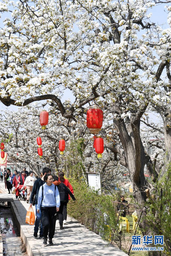 Цветение грушевых деревьев привлекает туристов