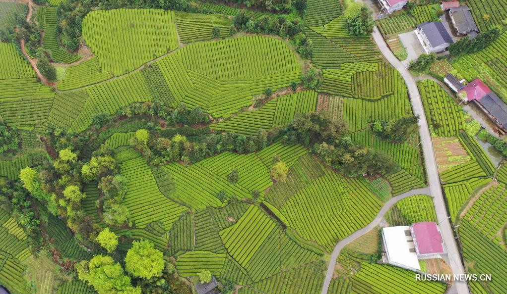 Весенние виды чайных плантаций в уезде Хэфэн
