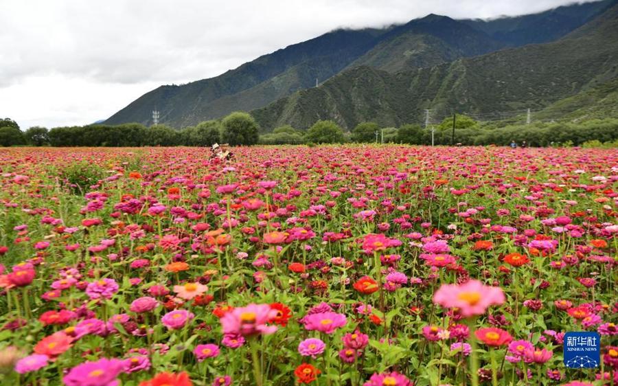 Очаровательное море цветов в Тибете