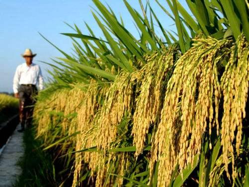 China establece nuevo récord mundial de producción de arroz