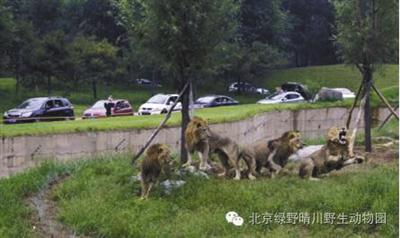 在动物园自驾区官方介绍资料图片中显示,一条壕沟将游客与猛兽隔离开。 [受访者供图]