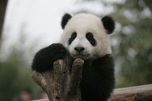 Chengdu is the homeland of the giant panda, which is reputed as a living fossil and a national treasure. [panda.org.cn]