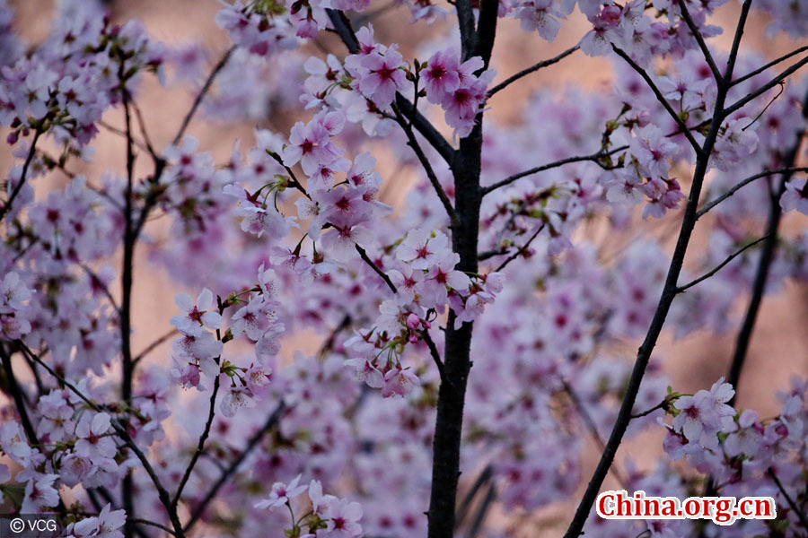 cherry blossoms in beijing s yuyuantan park china org cn