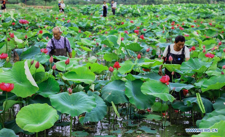 Lotus Flower Farm In Lyushan Township E Chinas Zhejiang Chinaorgcn