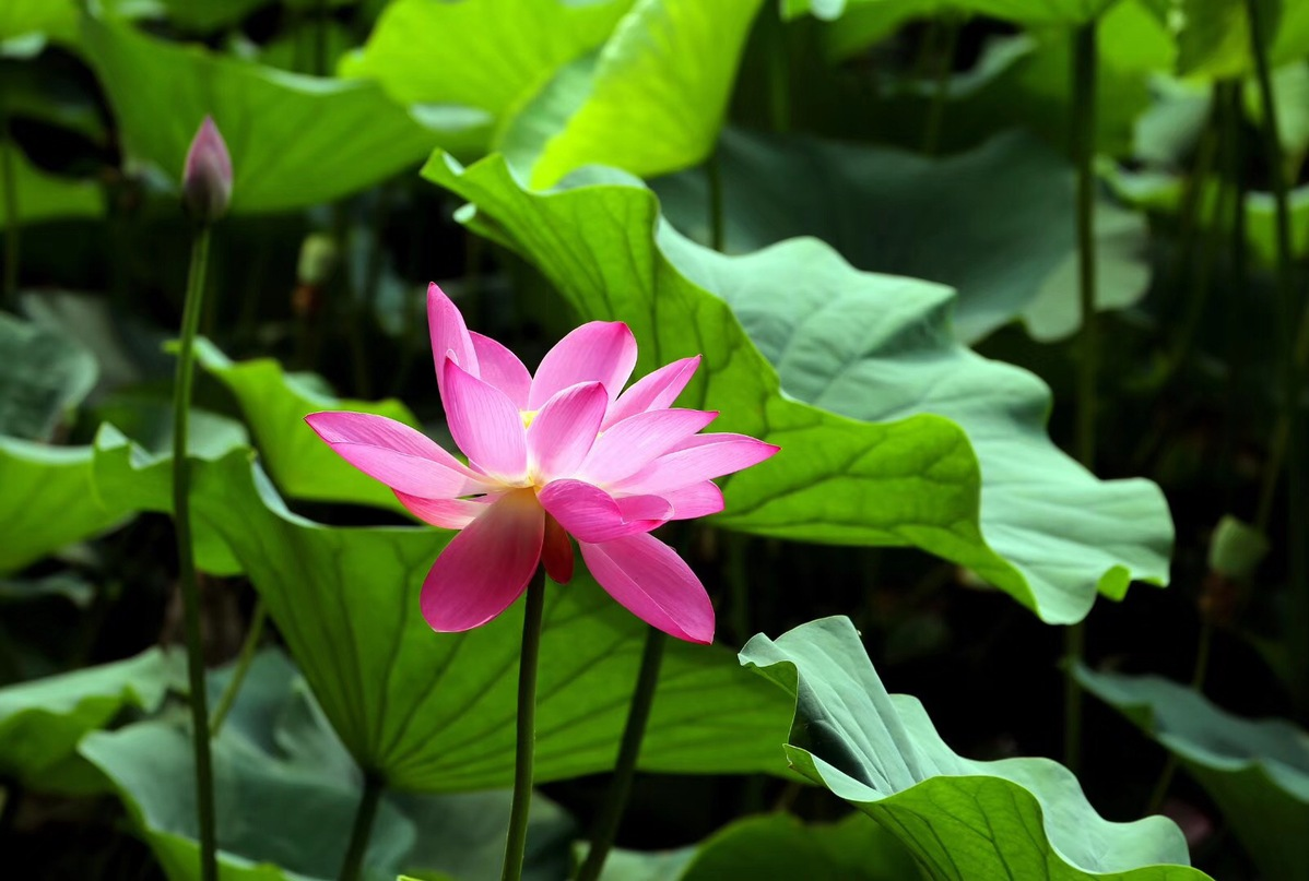 lotus flowers set a lovely summer scene around china china org cn