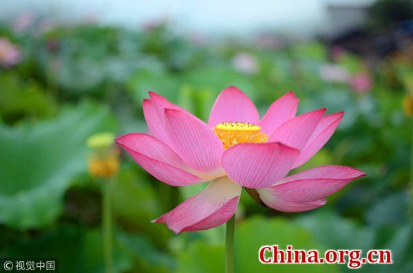Chinese Culture Centric Lotus Festival Blooms In Los Angeles China