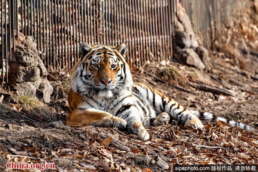 俄罗斯:东北虎从野生动物园被移送至生物中心