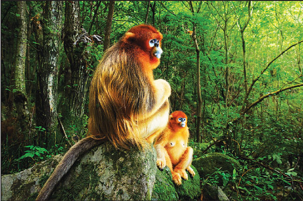 Golden snub-nosed monkeys in China have wet nurses