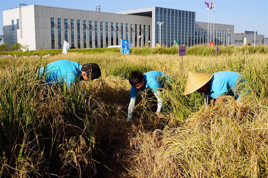 China Accelerates Rice Cultivation In Saline Soil China Org Cn