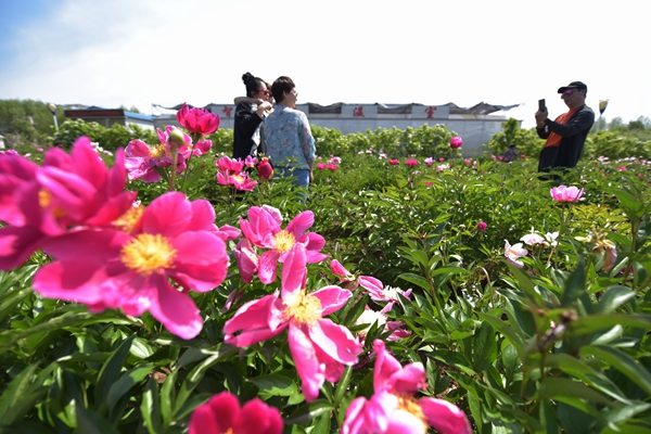 China mulls naming peony as national flower