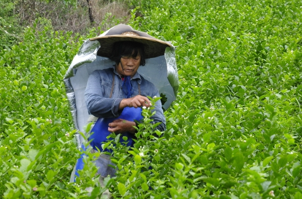 South China county named 'jasmine capital of the world