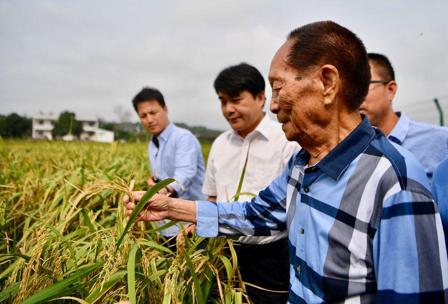 Rice plantation trial begins in north China's saline-alkali soil